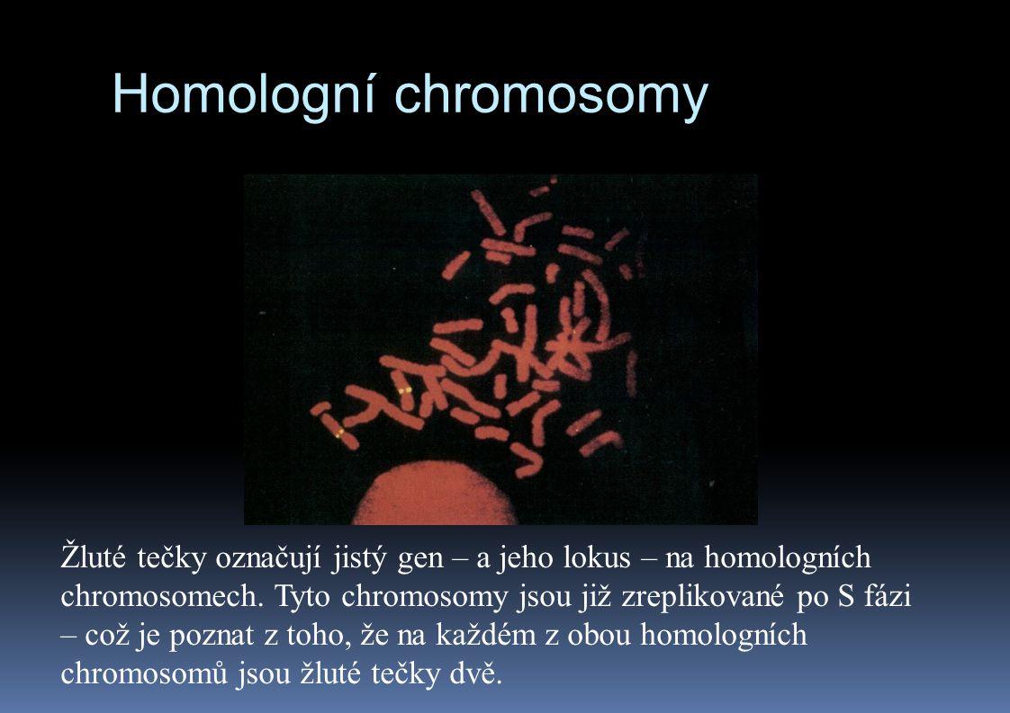 Homologní chromosomy Žluté tečky označují jistý gen – a jeho lokus – na homologních chromosomech. Tyto chromosomy jsou již zreplikované po S fázi – co