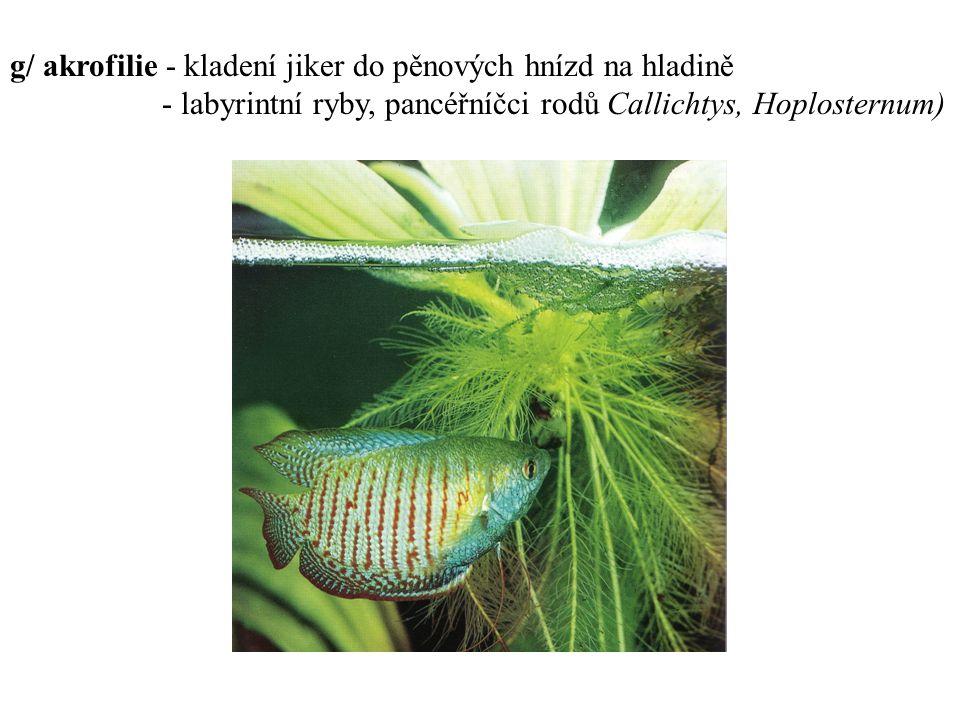 g/ akrofilie - kladení jiker do pěnových hnízd na hladině - labyrintní ryby, pancéřníčci rodů Callichtys, Hoplosternum)