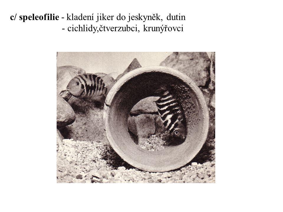 Péče o potomstvo A / o jikry a potěr není po výtěru pečováno - jikry jsou roznášeny v kapsičce z břišních ploutví a lepeny na vybraná místa - sumečci rodu Corydoras - samička po oplodnění jiker jednotlivé jikry roznáší a lepí je na vybraný a očištěný podklad - jikry lepeny v jakýchsi provazcích na ponořené předměty - okoun říční (Perca fluviatilis) - provazce, v kterých jsou jikry umístěny jikry chrání před poškozením a sežráním.