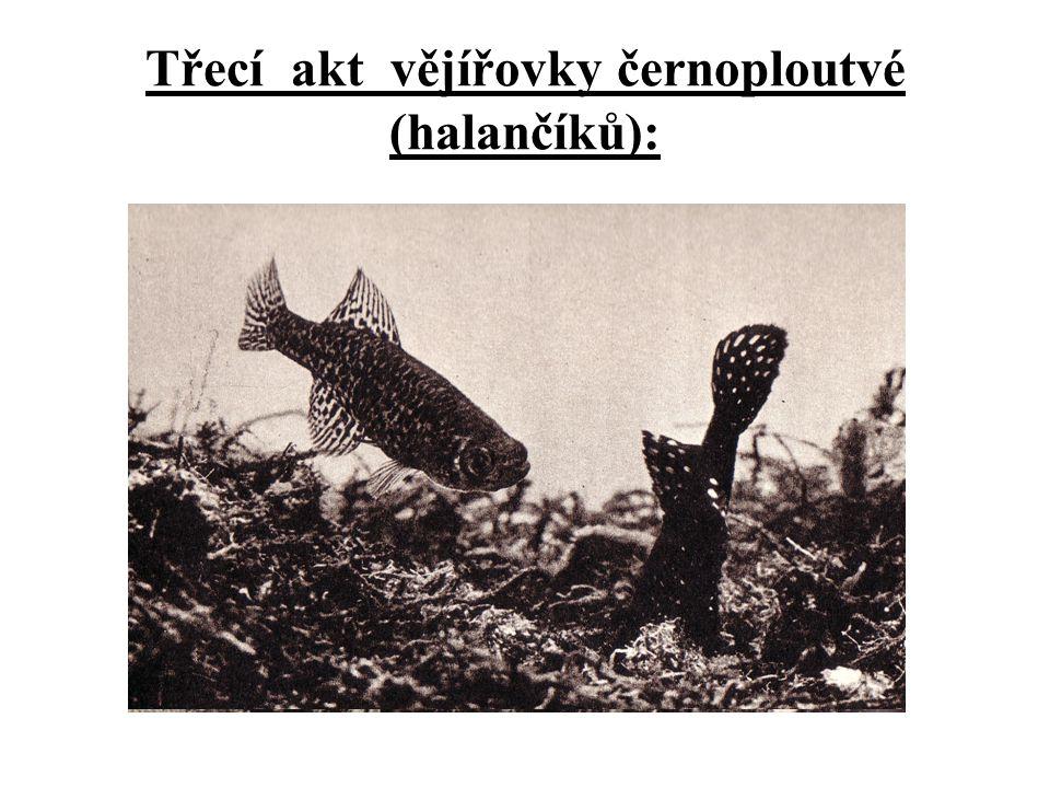 B/ o jikry případně i o potěr je pečováno - hlídání trdliště (ne vlastních jiker) - tetra císařská (Nematobrycon palmeri) - jikry jsou lepeny na vybraný substrát a jsou hlídány - substrát: kámen, kořen, list rostliny - snůška je hlídána - Cichlidy, krunýřovci - jikry jsou odkládány mimo vodu - tetra stříkavá (Copella arnoldi) - samec na list se snůškou občas stříká vodu, aby nevyschla Péče o potomstvo