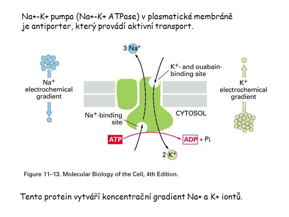 Na+-K+ pumpa (Na+-K+ ATPase) v plasmatické membráně je antiporter, který provádí aktivní transport. Tento protein vytváří koncentrační gradient Na+ a