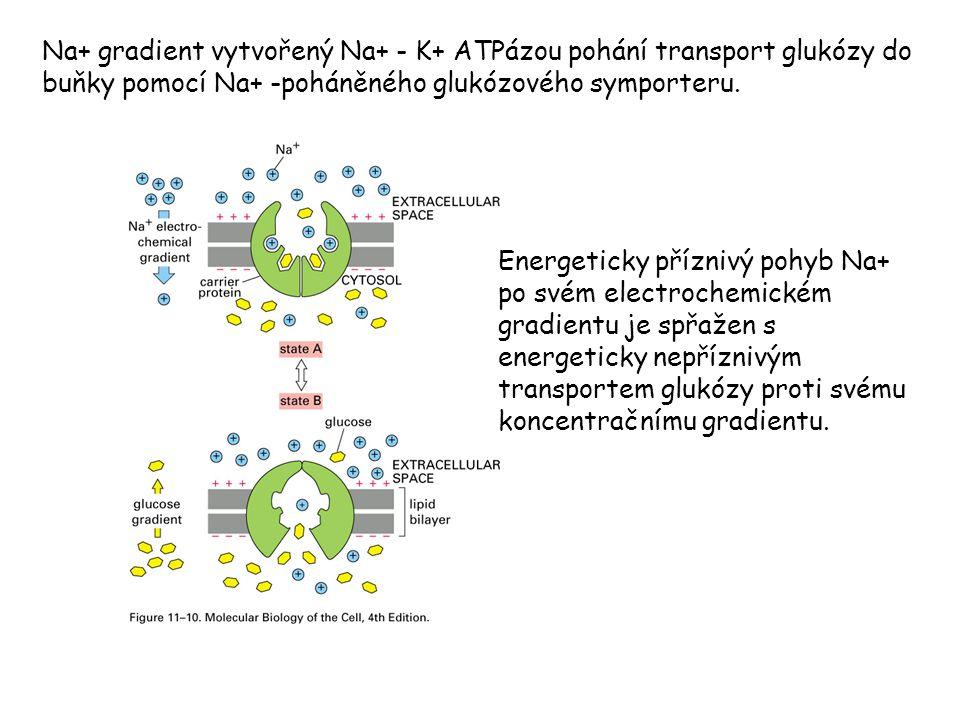 Na+ gradient vytvořený Na+ - K+ ATPázou pohání transport glukózy do buňky pomocí Na+ -poháněného glukózového symporteru. Energeticky příznivý pohyb Na
