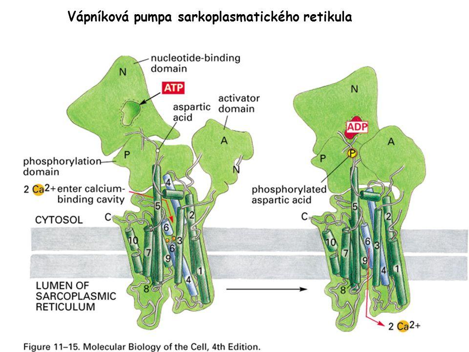 Vápníková pumpa sarkoplasmatického retikula
