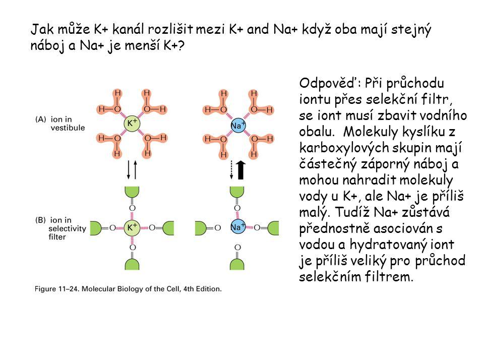 Jak může K+ kanál rozlišit mezi K+ and Na+ když oba mají stejný náboj a Na+ je menší K+? Odpověď: Při průchodu iontu přes selekční filtr, se iont musí