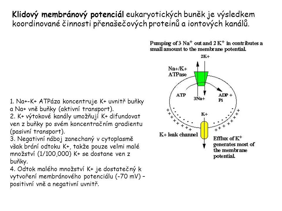 Klidový membránový potenciál eukaryotických buněk je výsledkem koordinované činnosti přenašečových proteinů a iontových kanálů. 1. Na+-K+ ATPáza konce