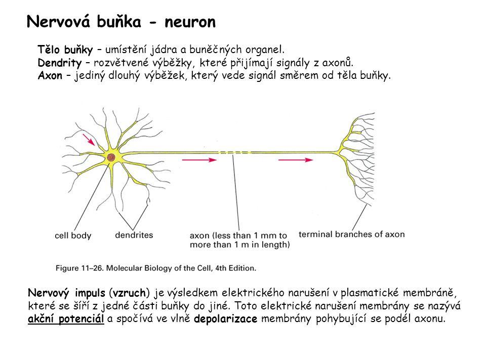 Nervová buňka - neuron Nervový impuls (vzruch) je výsledkem elektrického narušení v plasmatické membráně, které se šíří z jedné části buňky do jiné. T