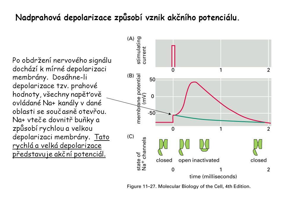 Po obdržení nervového signálu dochází k mírné depolarizaci membrány. Dosáhne-li depolarizace tzv. prahové hodnoty, všechny napěťově ovládané Na+ kanál