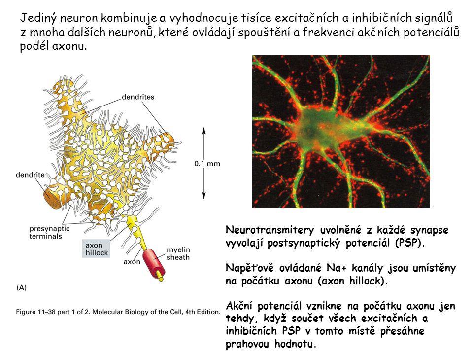 Jediný neuron kombinuje a vyhodnocuje tisíce excitačních a inhibičních signálů z mnoha dalších neuronů, které ovládají spouštění a frekvenci akčních p