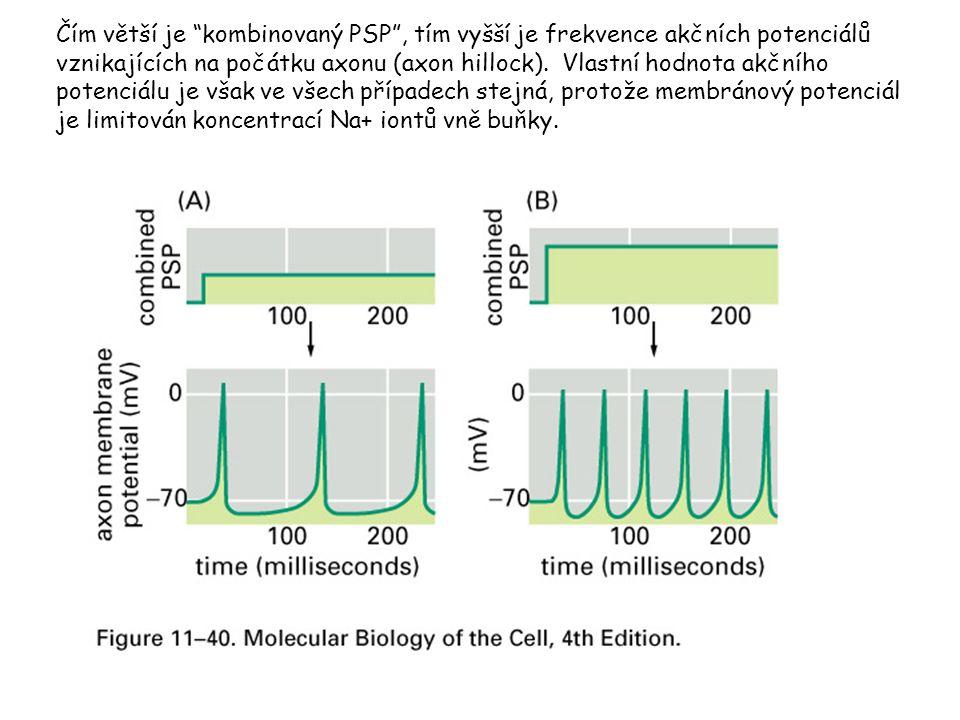 """Čím větší je """"kombinovaný PSP"""", tím vyšší je frekvence akčních potenciálů vznikajících na počátku axonu (axon hillock). Vlastní hodnota akčního potenc"""
