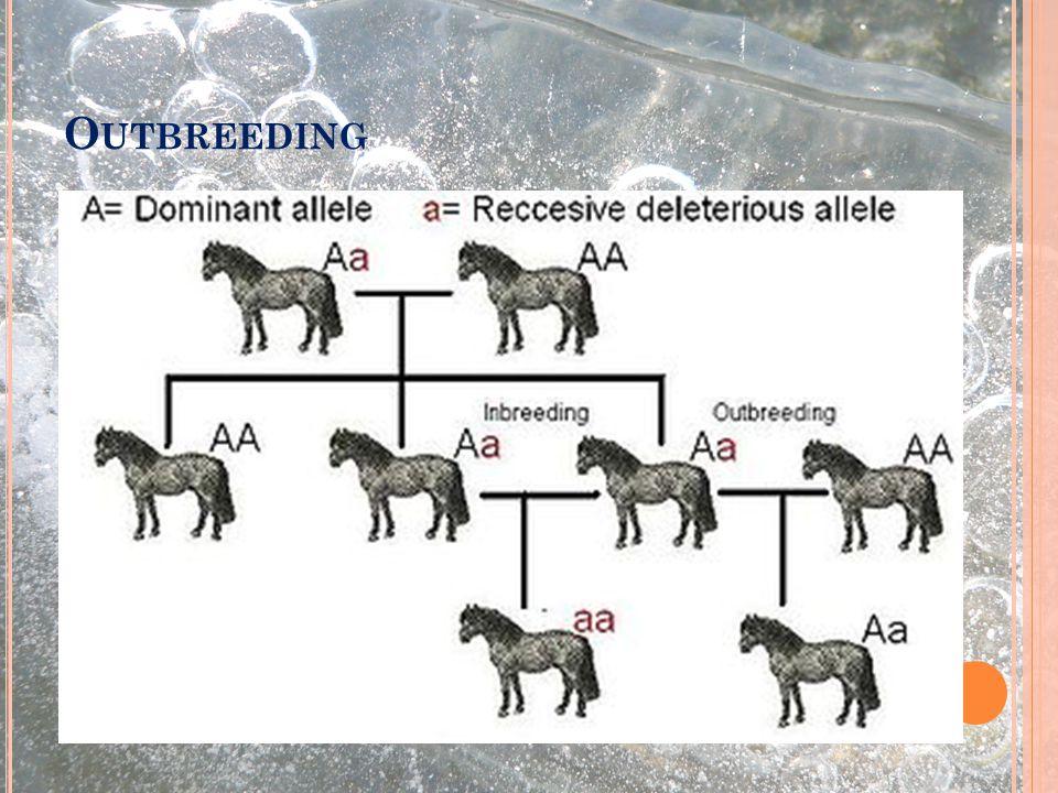 O UTBREEDING Výběr partnerů geneticky co nejvzdálenějších Vnášení nepříbuzného genetického materiálu do chovu (NEW BLOOD) Zvyšuje genetickou diverzitu Může do populace vnést zpět dříve ztracenou alelu, ale také alelu snižující fitness potomků v příštích generacích Genetická diverzita se zvyšuje jen V RÁMCI PRVNÍ GENERACE Používá se k získávání nových vlastností, které nelze jinak získat z našich linií (vylepšení velikosti očí, kvality srsti, …