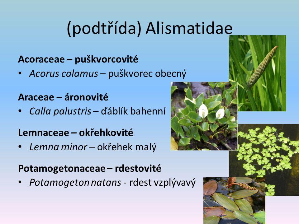 (podtřída) Alismatidae Acoraceae – puškvorcovité Acorus calamus – puškvorec obecný Araceae – áronovité Calla palustris – ďáblík bahenní Lemnaceae – ok