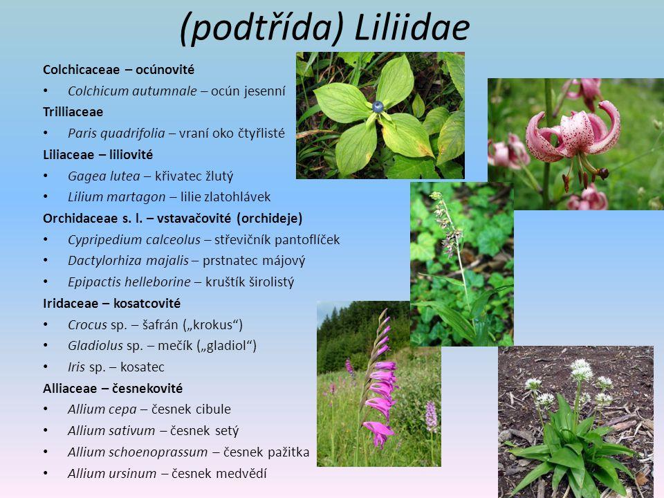 (podtřída) Liliidae Colchicaceae – ocúnovité Colchicum autumnale – ocún jesenní Trilliaceae Paris quadrifolia – vraní oko čtyřlisté Liliaceae – liliov
