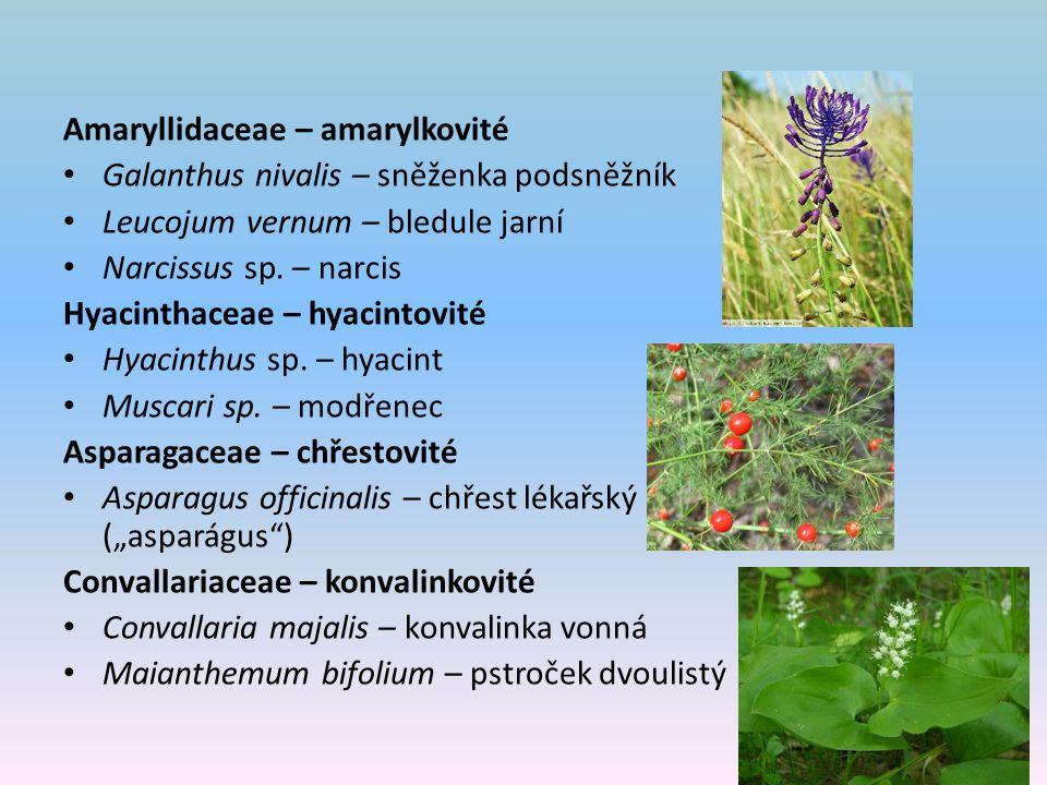 Amaryllidaceae – amarylkovité Galanthus nivalis – sněženka podsněžník Leucojum vernum – bledule jarní Narcissus sp. – narcis Hyacinthaceae – hyacintov