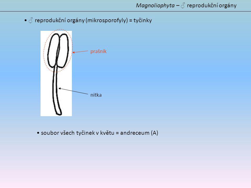 (oddělení) Magnoliophyta Členění – 3 třídy Magnoliopsida - nesourodá skupina bazálních řádů Magnoliopsida Liliopsida - jednoděložné rostliny Liliopsida Rosopsida - dvouděložné rostliny Rosopsida