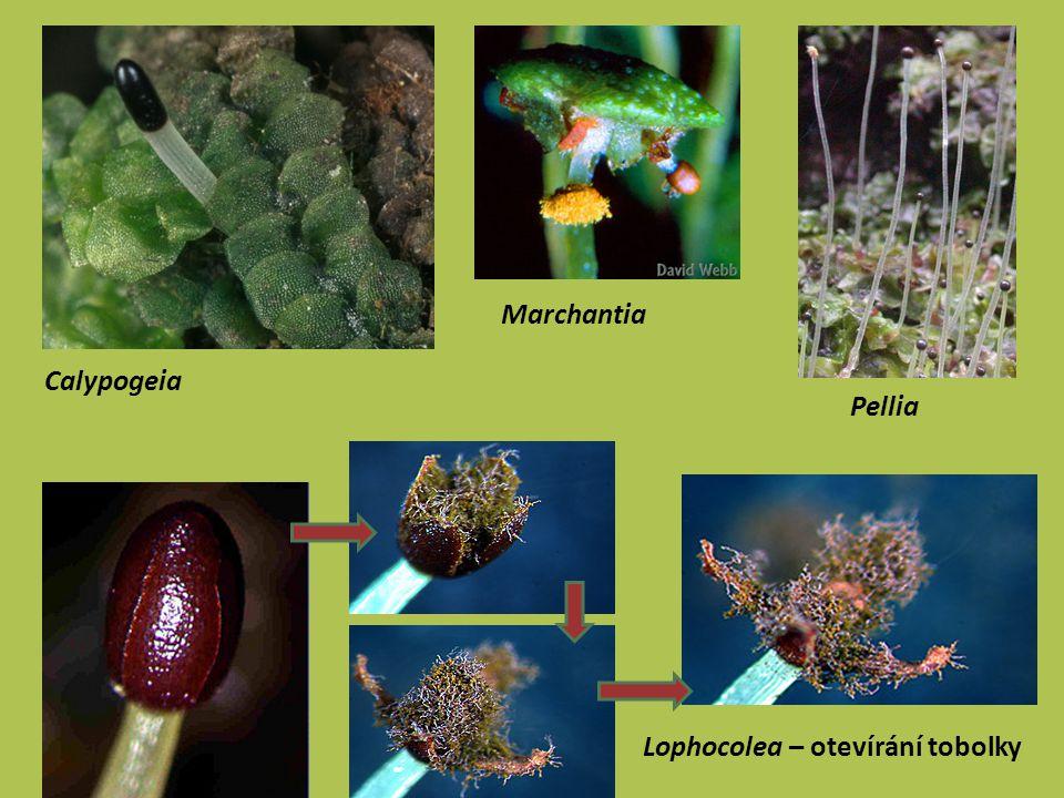 mechy (Bryophyta) protonema dobře vyvinuto, větvené; tvorba většího množství gametoforů rhizoidy mnohobuněčné gametofor listnatý, žebro lístku (vodivá + výztužná pletiva) štět sporangia se prodlužuje před dozrátím sporangia (tobolky), kryto čepičkou; není efemerní uvnitř sporangia střední sloupek (kolumela); stěna mnohovrstevná, s průduchy spory dozrávají najednou, ale vypadávají ze sporangia postupně díky existenci obústí (peristomu) – věnec hygroskopických zubů Systém: třídy Sphagnopsida (rašeliníky), Polytrichopsida (ploníky) a Bryopsida (pravé mechy)