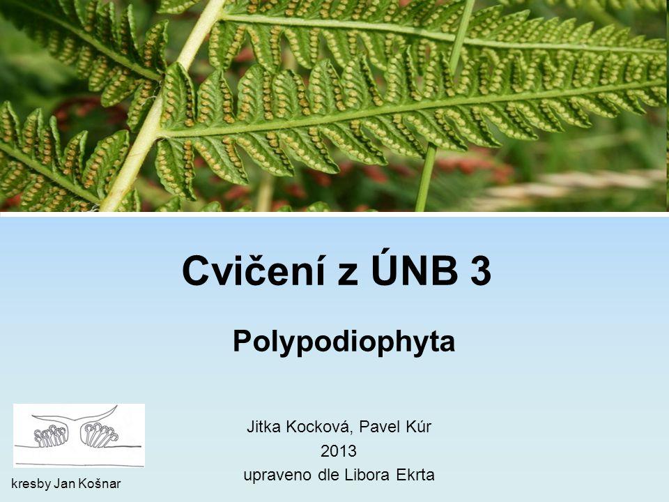 (oddělení) Polypodiophyta = kapradiny skupina složená z několika izolovaných linií kapradiny eusporangiátní evolučně původnější eusporangiátní typ výtrusnic izosporie (třídy) Psilotopsida, Ophioglossopsida, Equisetopsida kapradiny leptosporangiátní evolučně odvozenější leptosporangiátní typ výtrusnic izosporie nebo heterosporie (třída) Polypodiopsida 2 základní linie: