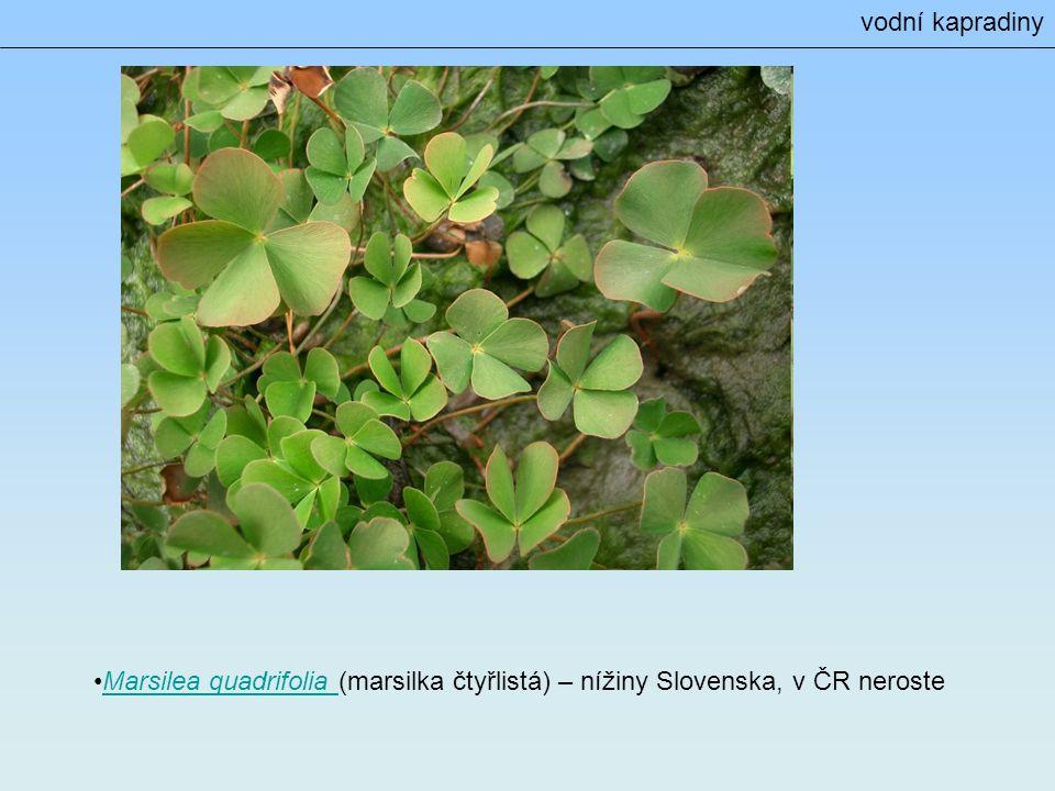 Marsilea quadrifolia (marsilka čtyřlistá) – nížiny Slovenska, v ČR nerosteMarsilea quadrifolia vodní kapradiny