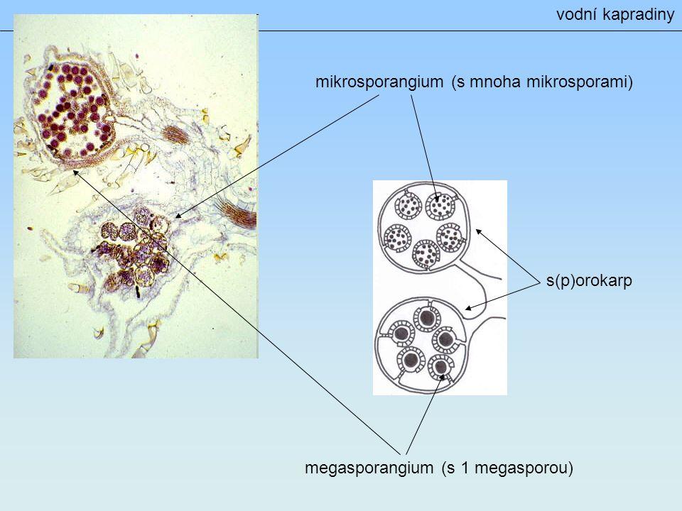 s(p)orokarp mikrosporangium (s mnoha mikrosporami) megasporangium (s 1 megasporou) vodní kapradiny