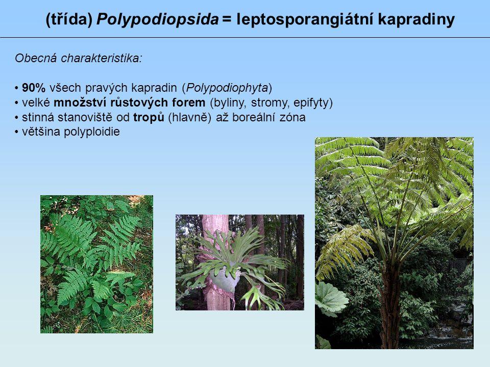 (třída) Polypodiopsida = leptosporangiátní kapradiny Obecná charakteristika: 90% všech pravých kapradin (Polypodiophyta) velké množství růstových fore