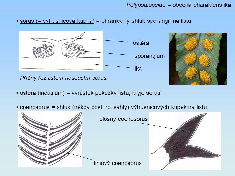 Gametofyt ● G nezávislý na S ● nadzemní, zelený, často krátkověký, lupenitý Polypodiopsida – obecná charakteristika