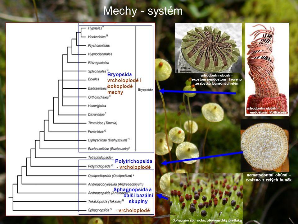 Mechy - systém Sphagnum sp.- víčko, otevření díky přetlaku artrodontní obústí – exostom a endostom – tvořeno ze zbytků buněčných stěn artrodontní obústí – endostom - Pottiaceae nematodontní obústí – tvořeno z celých buněk Polytrichopsida - vrcholoplodé Sphagnopsida a další bazální skupiny - vrcholoplodé Bryopsida vrcholoplodé i bokoplodé mechy