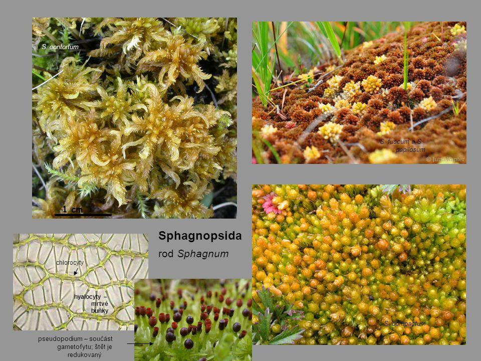 Sphagnopsida rod Sphagnum S.fuscum a S. papilosum S.