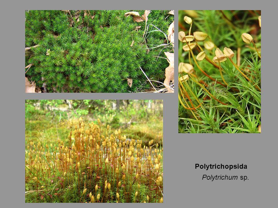 Polytrichopsida Polytrichum sp.