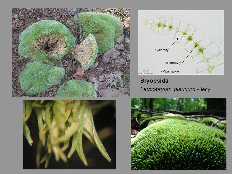 Bryopsida Leucobryum glaucum - lesy hyalocyty chlorocyty průřez listem