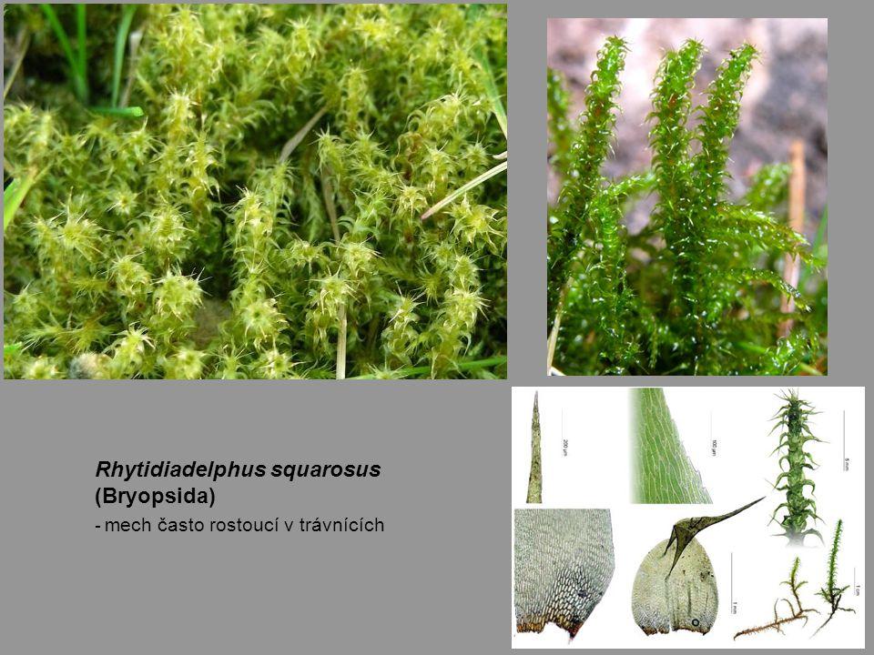 Rhytidiadelphus squarosus (Bryopsida) - mech často rostoucí v trávnících