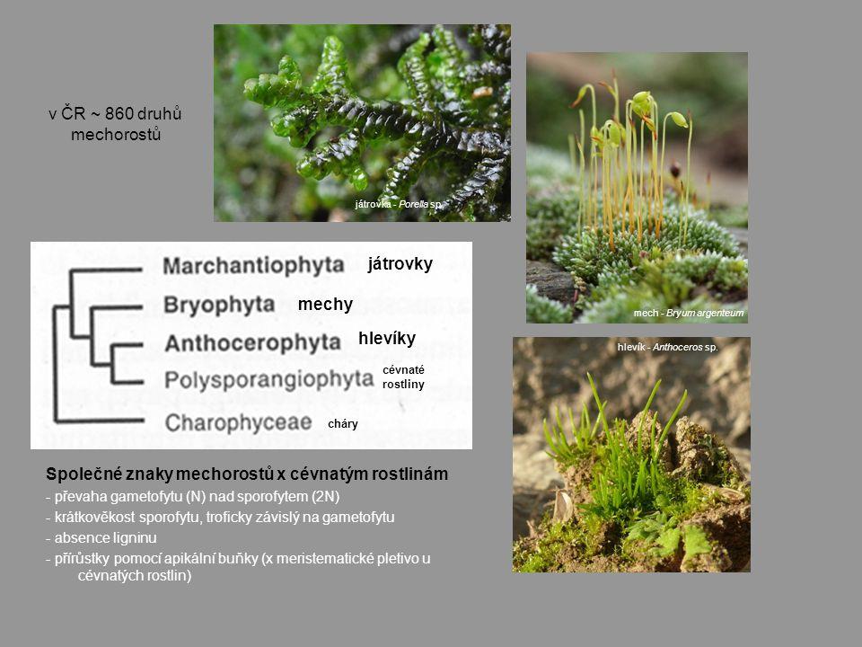 Společné znaky mechorostů x cévnatým rostlinám - převaha gametofytu (N) nad sporofytem (2N) - krátkověkost sporofytu, troficky závislý na gametofytu - absence ligninu - přírůstky pomocí apikální buňky (x meristematické pletivo u cévnatých rostlin) játrovky mechy hlevíky cévnaté rostliny játrovka - Porella sp.