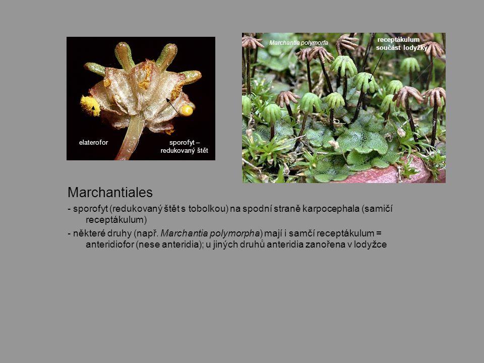 Marchantiales - sporofyt (redukovaný štět s tobolkou) na spodní straně karpocephala (samičí receptákulum) - některé druhy (např.