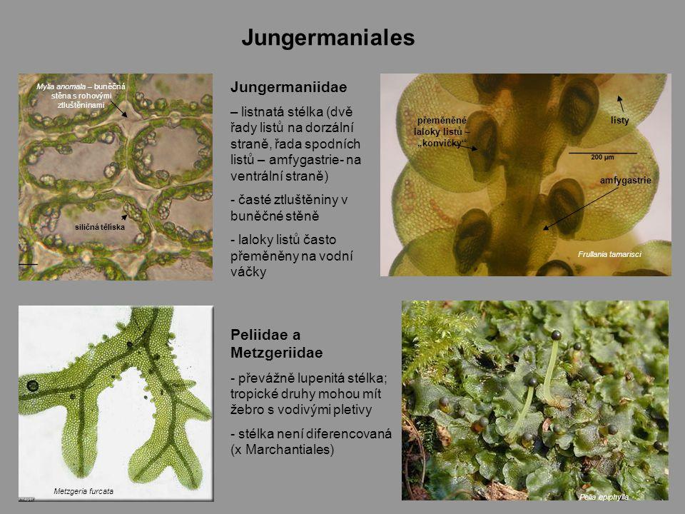 """Jungermaniales amfygastrie přeměněné laloky listů – """"konvičky listy Frullania tamarisci Pelia epiphylla Jungermaniidae – listnatá stélka (dvě řady listů na dorzální straně, řada spodních listů – amfygastrie- na ventrální straně) - časté ztluštěniny v buněčné stěně - laloky listů často přeměněny na vodní váčky Peliidae a Metzgeriidae - převážně lupenitá stélka; tropické druhy mohou mít žebro s vodivými pletivy - stélka není diferencovaná (x Marchantiales) Metzgeria furcata Mylia anomala – buněčná stěna s rohovými ztluštěninami siličná tělíska"""