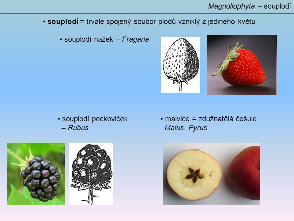 Magnoliophyta – souplodí souplodí = trvale spojený soubor plodů vzniklý z jediného květu souplodí nažek – Fragaria souplodí peckoviček malvice = zdužnatělá češule – Rubus Malus, Pyrus