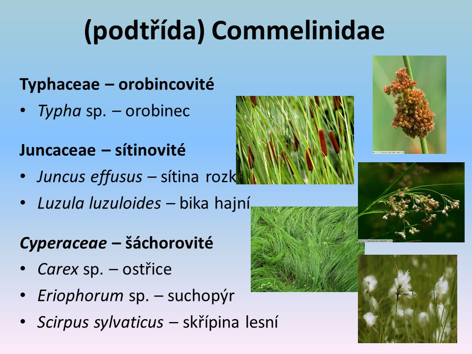 (podtřída) Commelinidae Typhaceae – orobincovité Typha sp.