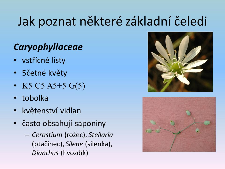 Jak poznat některé základní čeledi Caryophyllaceae vstřícné listy 5četné květy K5 C5 A5+5 G(5) tobolka květenství vidlan často obsahují saponiny – Cerastium (rožec), Stellaria (ptačinec), Silene (silenka), Dianthus (hvozdík)