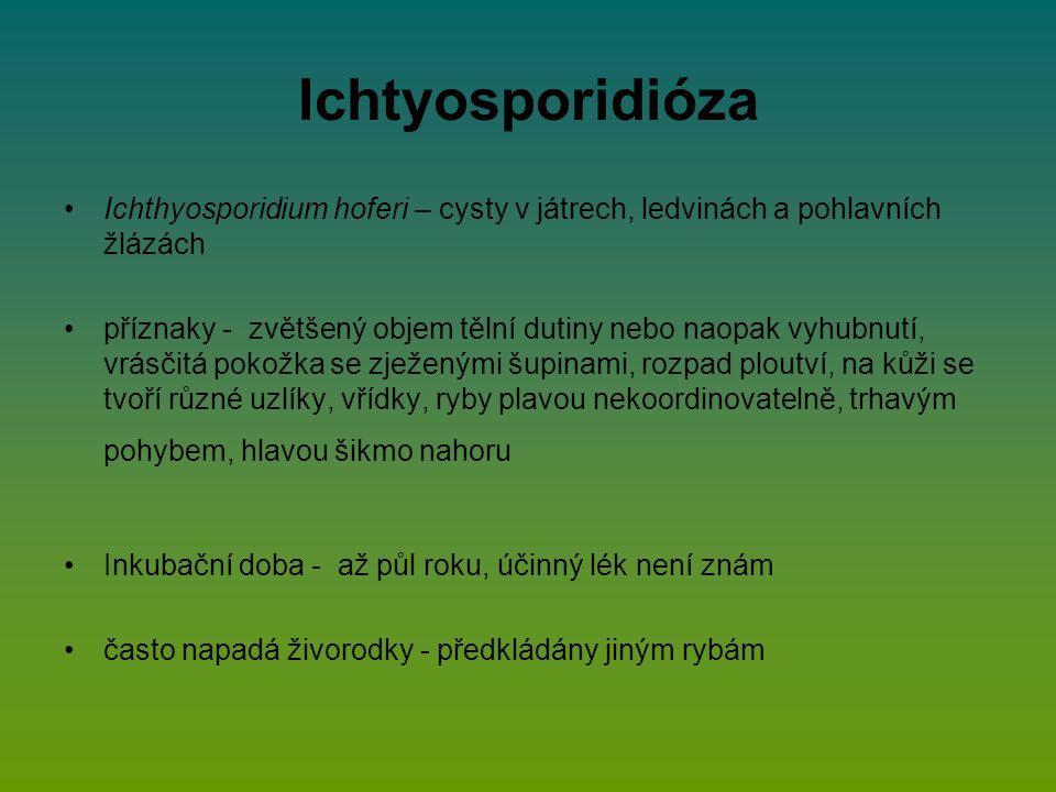 Ichtyosporidióza Ichthyosporidium hoferi – cysty v játrech, ledvinách a pohlavních žlázách příznaky - zvětšený objem tělní dutiny nebo naopak vyhubnutí, vrásčitá pokožka se zježenými šupinami, rozpad ploutví, na kůži se tvoří různé uzlíky, vřídky, ryby plavou nekoordinovatelně, trhavým pohybem, hlavou šikmo nahoru Inkubační doba - až půl roku, účinný lék není znám často napadá živorodky - předkládány jiným rybám