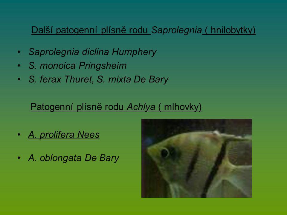 Další patogenní plísně rodu Saprolegnia ( hnilobytky) Saprolegnia diclina Humphery S. monoica Pringsheim S. ferax Thuret, S. mixta De Bary Patogenní p