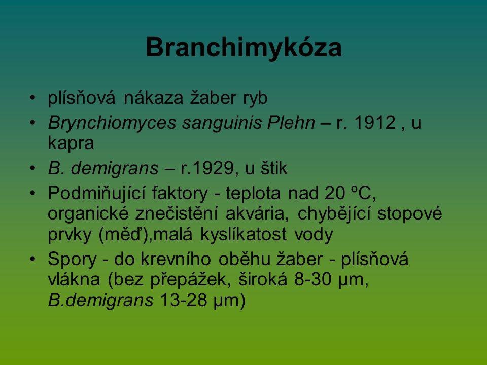 Branchimykóza plísňová nákaza žaber ryb Brynchiomyces sanguinis Plehn – r. 1912, u kapra B. demigrans – r.1929, u štik Podmiňující faktory - teplota n