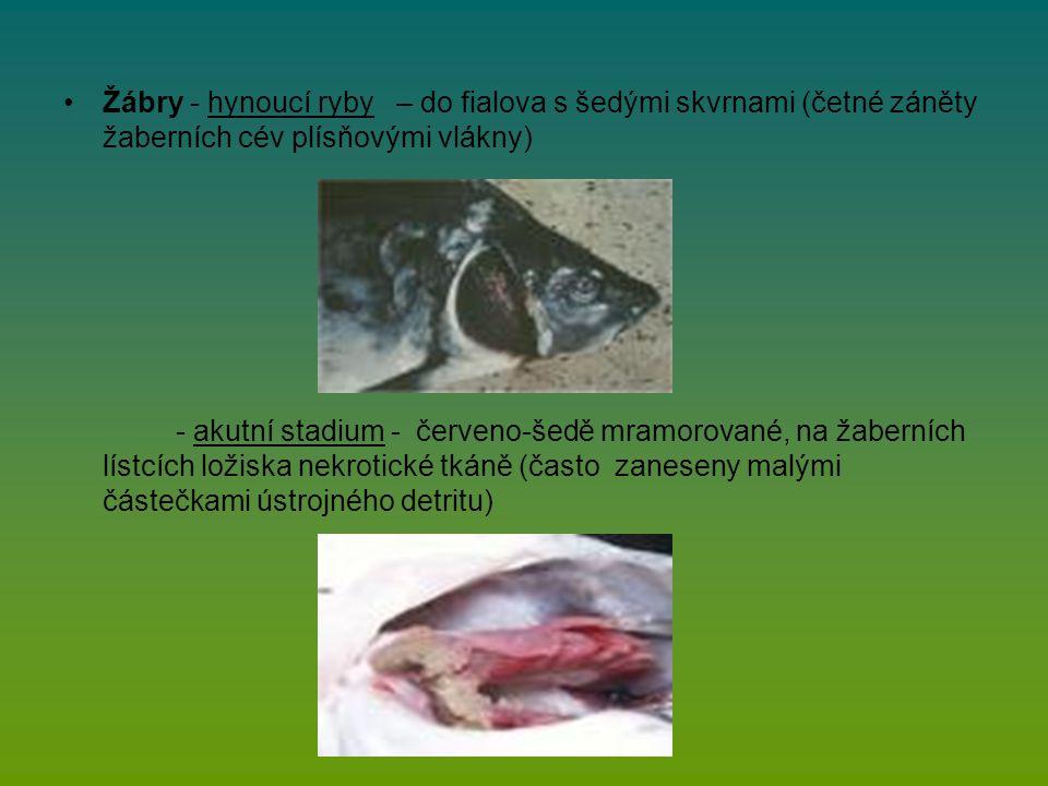 Žábry - hynoucí ryby – do fialova s šedými skvrnami (četné záněty žaberních cév plísňovými vlákny) - akutní stadium - červeno-šedě mramorované, na žaberních lístcích ložiska nekrotické tkáně (často zaneseny malými částečkami ústrojného detritu)