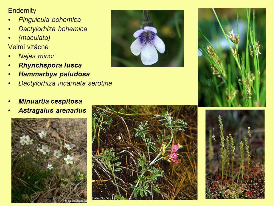 Endemity Pinguicula bohemica Dactylorhiza bohemica (maculata) Velmi vzácné Najas minor Rhynchspora fusca Hammarbya paludosa Dactylorhiza incarnata serotina Minuartia cespitosa Astragalus arenarius