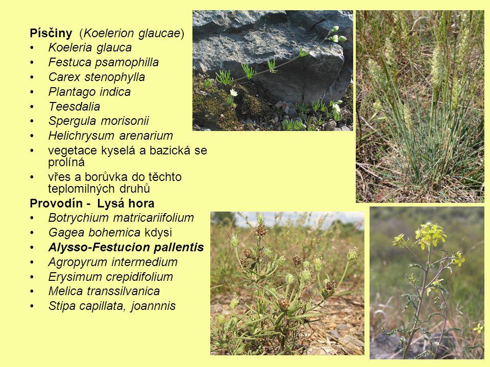 Písčiny (Koelerion glaucae) Koeleria glauca Festuca psamophilla Carex stenophylla Plantago indica Teesdalia Spergula morisonii Helichrysum arenarium v