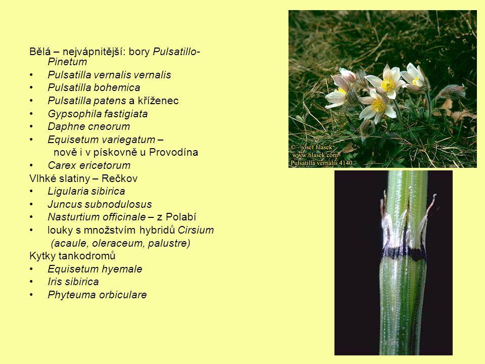 Bělá – nejvápnitější: bory Pulsatillo- Pinetum Pulsatilla vernalis vernalis Pulsatilla bohemica Pulsatilla patens a kříženec Gypsophila fastigiata Daphne cneorum Equisetum variegatum – nově i v pískovně u Provodína Carex ericetorum Vlhké slatiny – Rečkov Ligularia sibirica Juncus subnodulosus Nasturtium officinale – z Polabí louky s množstvím hybridů Cirsium (acaule, oleraceum, palustre) Kytky tankodromů Equisetum hyemale Iris sibirica Phyteuma orbiculare
