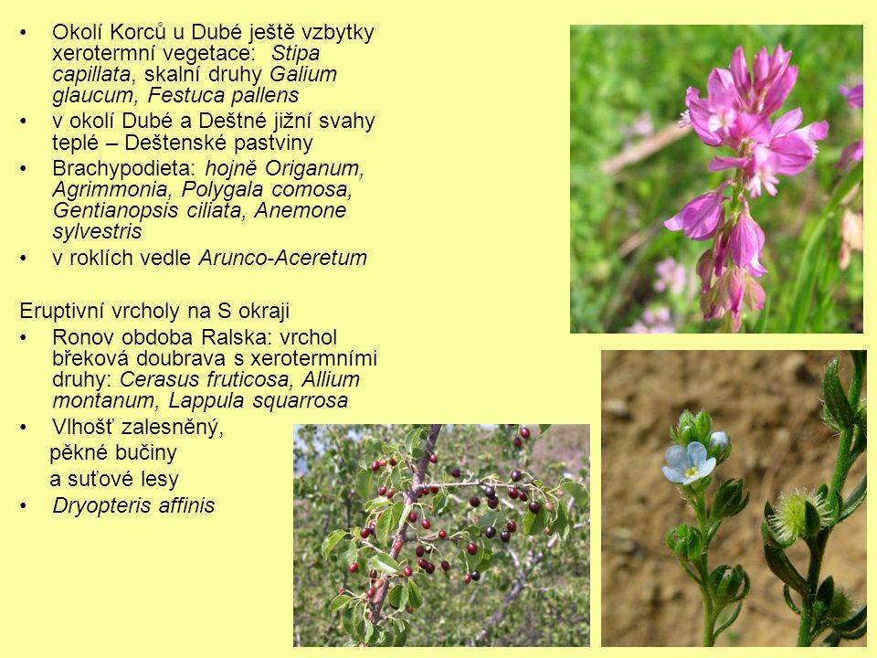 Okolí Korců u Dubé ještě vzbytky xerotermní vegetace: Stipa capillata, skalní druhy Galium glaucum, Festuca pallens v okolí Dubé a Deštné jižní svahy
