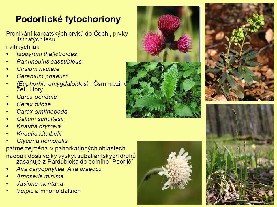 Podorlické fytochoriony Pronikání karpatských prvků do Čech, prvky listnatých lesů i vlhkých luk Isopyrum thalictroides Ranunculus cassubicus Cirsium
