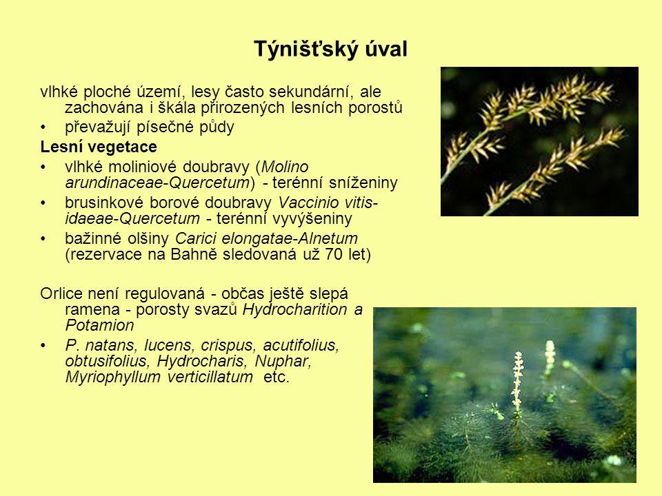 Týnišťský úval vlhké ploché území, lesy často sekundární, ale zachována i škála přirozených lesních porostů převažují písečné půdy Lesní vegetace vlhké moliniové doubravy (Molino arundinaceae-Quercetum) - terénní sníženiny brusinkové borové doubravy Vaccinio vitis- idaeae-Quercetum - terénní vyvýšeniny bažinné olšiny Carici elongatae-Alnetum (rezervace na Bahně sledovaná už 70 let) Orlice není regulovaná - občas ještě slepá ramena - porosty svazů Hydrocharition a Potamion P.