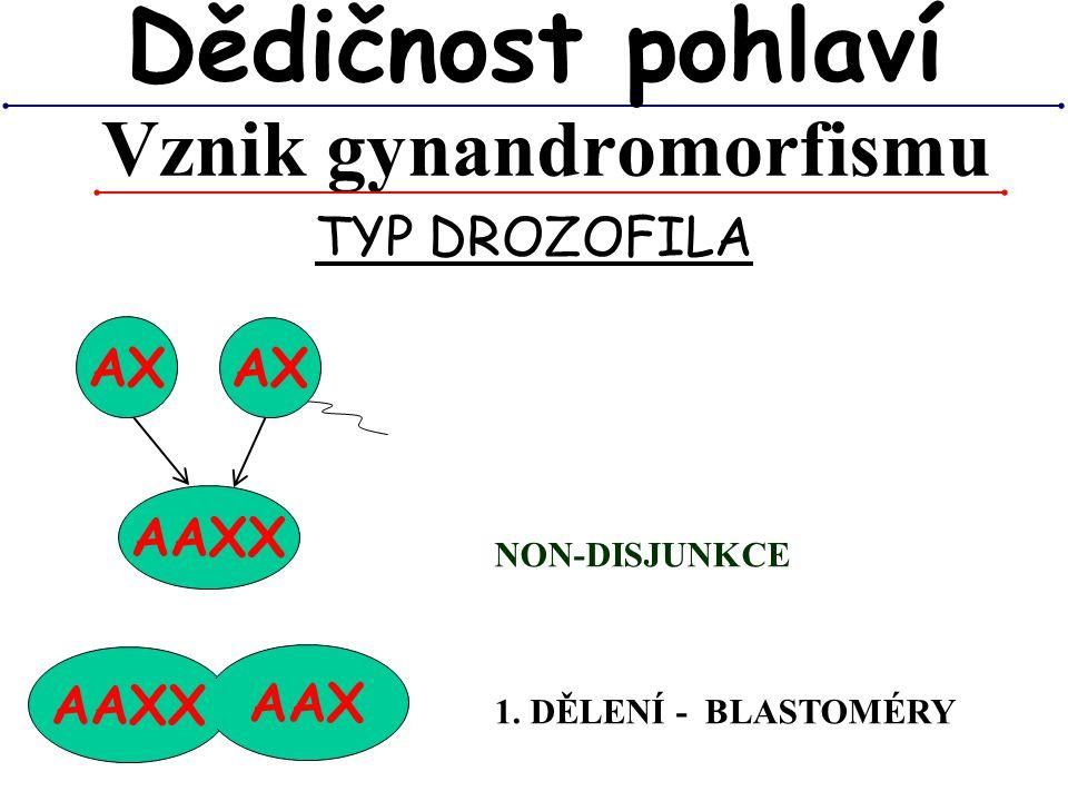 AAXX AAX Vznik gynandromorfismu Dědičnost pohlaví TYP DROZOFILA AX AAXX AX NON-DISJUNKCE 1. DĚLENÍ - BLASTOMÉRY
