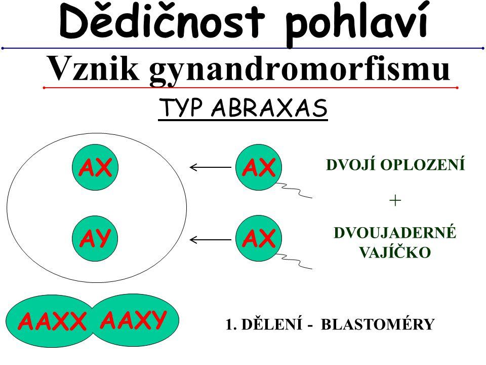 AAXX AAXY Vznik gynandromorfismu Dědičnost pohlaví TYP ABRAXAS AX DVOJÍ OPLOZENÍ + DVOUJADERNÉ VAJÍČKO 1. DĚLENÍ - BLASTOMÉRY AY AX