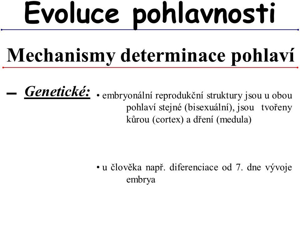 Mechanismy determinace pohlaví Evoluce pohlavnosti ▬ Genetické: embryonální reprodukční struktury jsou u obou pohlaví stejné (bisexuální), jsou tvořen
