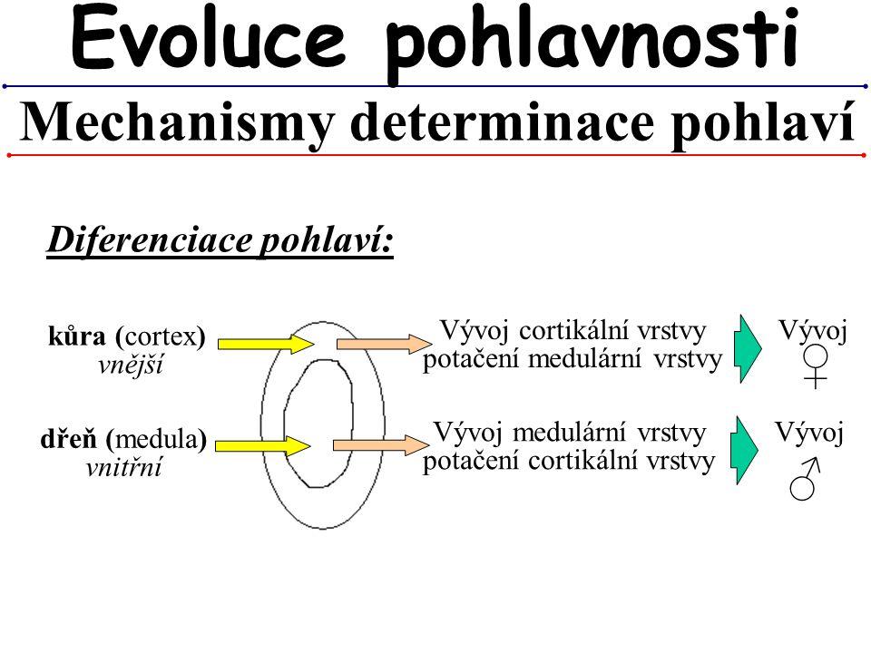 Mechanismy determinace pohlaví Evoluce pohlavnosti kůra (cortex) vnější dřeň (medula) vnitřní Vývoj cortikální vrstvy potačení medulární vrstvy Vývoj