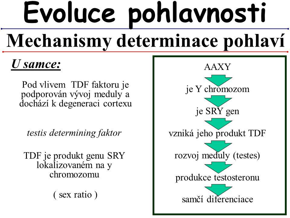 AAXY je Y chromozom je SRY gen vzniká jeho produkt TDF rozvoj meduly (testes) produkce testosteronu samčí diferenciace Mechanismy determinace pohlaví